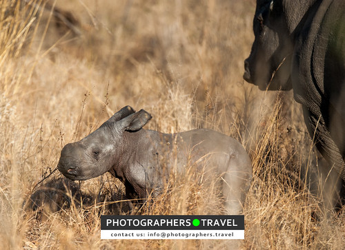 A one day old baby rhino!