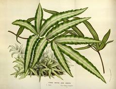 Anglų lietuvių žodynas. Žodis ribbon fern reiškia juostelės paparčio lietuviškai.