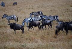 DSC_8411 (H Sinica) Tags: balloon safari zebra hotairballoon wildebeest savanna masaimara maasaimara