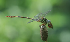broad-striped forceptail (explored 8/28/2013) (robert salinas) Tags: dragonflies sigma a57 odonates