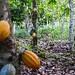 Cocoa plantations in Ghana