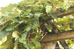 Grape Vines (WarpFactorEnterprises) Tags: vines grape