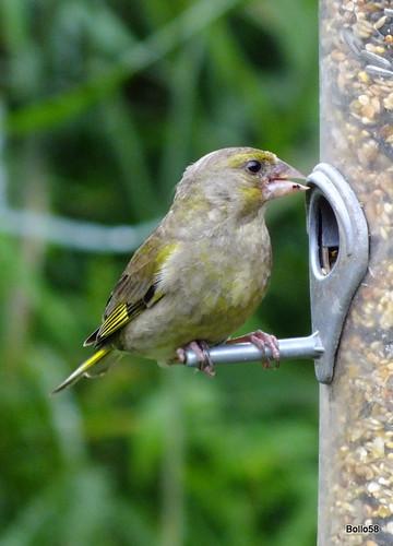 Greenfinch - WWT Slimbridge