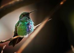 Colibri Adormecido (DanielBalarezo) Tags: bird hummingbird pjaro colibr quinde