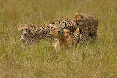Cheetah 1, Reedbuck 0 (John Kok) Tags: kenya cheetah masaimara acinonyxjubatus kichwatembo commonreedbuck reduncaarundinum bateleurcamp southernreedbuck september2013 nikkor30028vr2
