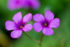 300/365  27/10/2013 : my favourite (Chicaco11) Tags: park pink flower macro japan 50mm tokyo purple bokeh f14 violet sigma panasonic kiba f28 koto woodsorrel    chicaco11