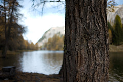 tree ahead (Toni_V) Tags: alps tree nature landscape schweiz switzerland dof suisse bokeh rangefinder alpen svizzera albula mountainlake bergsee baum m9 graubünden grisons albulatal svizra 2013 grischun 35mmf14asph 35lux predabergün laidapalpuogna 131026 palpuognasee ©toniv leicam9 l1014319