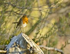 Bosc de Riba roja- Tarragona (Blanca Martinez i Ribes) Tags: nature birds natura pajaros observatori ocells