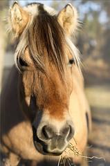 (Ana Lukascuk) Tags: horse nature animal oslo museum fauna farm domestic bygdoy