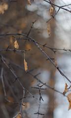 Pure;Day 34 (Allison Kufta) Tags: light macro tree nature beauty canon photography bokeh 2014 flowersplants 365project