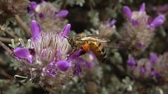 Bee on sage (Distraction Limited) Tags: flowers arizona tucson bees insects salvia botanicalgardens sages tohonochulpark earthnaturelife desertcorner