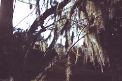 mousevolatilemyhome-6 (mouseVOLATILE) Tags: trees sunlight tree nature canon moss natural florida naturallight wintergarden treebranch naturephotography centralflorida canonphotography naturallightphotography natureportrait floridalandscape floridatourism canonportrait wintergardenflorida floridamoss centralfloridaphotography canon7d centralfloridalandscape canon7dportrait canon7dphotography mousevolatile gabrielleserrano gabbyserrano centralfloridaportrait