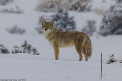 Coyote profile (My Kona Girl) Tags: coyote colorado wildlife canon60d