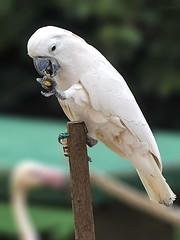 Umbrella-Cockatoo (Sri Kri) Tags: india birds bangalore cockatoo ind