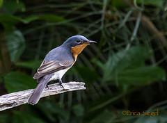 Leaden Flycatcher, female (ozwildbird) Tags: bird flycatcher topshots naturesplus leadenflycatcher photosandcalendar natureselegantshots panoramafotografico faunayfloradelmundo thebestofmiramorsgroups theoriginalgoldseal magicmomentsinyourlife magicmomentsinyourlifelevel1