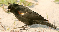 Blackbird,Red-winged_Assateague,MD_DaveSpier_D065888flickr (northeast naturalist) Tags: travel black male bird tourism nature animal digital canon outdoors island xt md natural wildlife feathers maryland biology ornithology blackbird assateague zoology redwing nationalseashore worcestercounty 300mmf4l assateagueislandnationalseashore worcestercountymd taxonomy:binomial=agelaiusphoeniceus marylandbiodiverityproject