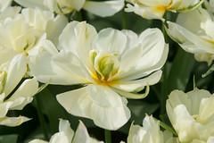 20140325-DSC_9154 (nikontino) Tags: holland tulipa keukenhof tino 2014 lisse stulen ichliebetulpen nikontino