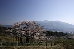 SDIM5346 (Keishi Etoh rough-and-ready photoglaph) Tags: flower cherry 28mm sigma  cherryblossoms aso kumamoto foveon  dp1  kugino sigmadp1x dp1x  kannonsakura
