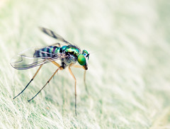 "Australian long legged fly • <a style=""font-size:0.8em;"" href=""http://www.flickr.com/photos/44919156@N00/13537228584/"" target=""_blank"">View on Flickr</a>"