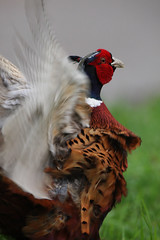 COMMON PHEASANT (PHASIANINAE). OXFORDSHIRE FARMLAND. (Gary K. Mann) Tags: male canon pheasant wildlife farmland british common oxfordshire phasianinae