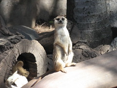 "MEERKAT 180_197 (Dancing with Ghosts Graphics) Tags: copyright cute animal mammal meerkat pups small gang mob 180 clan mongoose angola sentry suricate burrows suricatta desert"" diurnal 2013 fawncolored herpestid iteroparous ""kalahari dwgg ""namib debbrawalker feliform dancingwghosts ""suricata suricatta"" ""botswana"" oraging siricata"" majoriae"" iona"""
