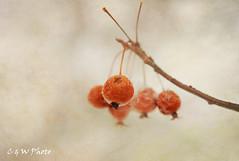 Wild berries in a snow day (guizhou2012) Tags: winter texture nature fruit berry nikon soft thing naturallight memoriesbook flypapertextures