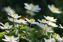 Anemoner (In Explore) (Steenjep) Tags: macro denmark spring anemone danmark jylland forår dollerup