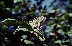 255Zypern Troodos Schwalbenschwanz (Rdiger Stehn) Tags: 1982 1983 zypern mittelmeer sommer troodos gebirge cyprus kibris tiere insekten tagfalter schwalbenschwanz falter papiliomachaon lemess limasol leymosun europa sdeuropa insel urlaub dia minoltasrt100x madari analogfilm scan minoltadimagescandualii slide mittelmeerraum ritterfalter papilionidae papilioninae papilio makro nahaufnahme kypros 1980er 1980s schmetterling diapositivfilm analog kleinbild kbfilm 35mm makroaufnahme