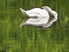 ~~ The first Swans at City Lake ! ~~ (Rosa Dik 009 -- on & off) Tags: light lake nature colors composition flickr mood details atmosphere swans impression waterreflection loweraustria academypark creativecommoms photographystudy april2014 panasonicdmctz18 citywienerneustadt rosadik009