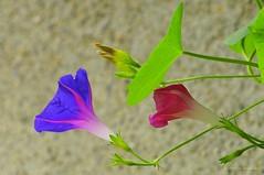 Sarman renkleri (Hseyin Baaolu 1) Tags: flower nature rose turkey trkiye turquie gl iek biga dardanel doa anakkale nikonpk13 tukei pegai nikond300s czjmcsonnar300mmf4 mcsonnar300mmf4 carlzeissjenamcsonnar300mmf4