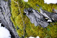 "green ""jungle"" (lkohutova) Tags: winter white snow tree green nature moss treetrunk nikond3200"
