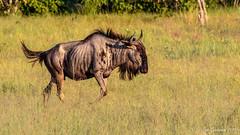 Wildebeest (Bob Gunderson) Tags: wildlife botswana mammals wildebeest southernafrica kwara okvangodelta canoneos7dmarkii