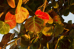 50 shades of photosynthesis (ORIONSM) Tags: leaves highlights shade colourful photosynthesis sigma18250 pentaxk3