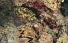 Epinephelus polyphekadion - Mérou camouflage - Camouflage grouper.jpg