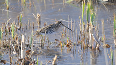 Common Snipe DSC_9367 (wildlifelynn) Tags: bird coast suffolk adult lakes shy nervous inland earthworms phragmites frozenwater alert marshland minsmere watchful wader commonsnipe reservoirs gallinagogallinago wintervisitor islandmere residentpopulation overwinters crypticplumage probingbeak aquaticinsectsmolluscs cutreedbed