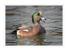 I'm a Happy Wigeon ! (Tomcod) Tags: bird nature newfoundland duck wildlife avian wigeon baldpate