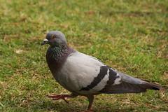 鳩 / Pigeon (kimtetsu) Tags: bird japan pigeon 日本 nara 鳥 奈良 narapark 奈良公園 鳩 奈良県 奈良市