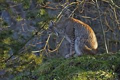 Luchs (Michael Dring) Tags: zoo bismarck gelsenkirchen d800 luchs zoomerlebniswelt michaeldring s