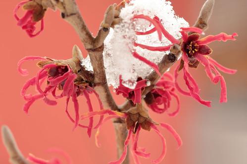 Winter Beauty: Witch Hazel