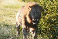 Hungry (zenseas) Tags: africa morning wild vacation holiday early driving lion sunny safari hunger lions mating hungry roadside interested namibia lioness etosha panthera pantheraleo selfdrive namutoni etoshanationalpark kleinnamutoni