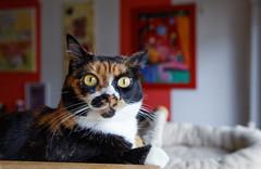 Felice (No_Water) Tags: cat tabby tiger harry merlin calico felice