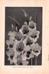 n17_w1150 (BioDivLibrary) Tags: berlin newyorkstate gladiolus catalogs nurserystock nurserieshorticulture mertzlibrarythenewyorkbotanicalgarden coweearthurfirm bhlgardenstories bhlinbloom bhl:page=46688516 dc:identifier=httpbiodiversitylibraryorgpage46688516