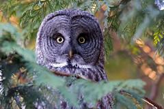 Great Gray Owl (Gregory Lis) Tags: britishcolumbia greatgrayowl ladner strixnebulosa reifelmigratorybirdsanctuary nikond800 gorylis