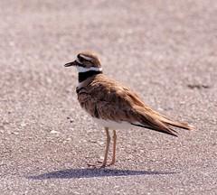 20160331 Keilschwanz-Regenpfeifer (Killdeer) K3II7820_DxO (AviFuzzi) Tags: park nature birds state pentax florida jonathan dfa dickinson 150450 k3ii