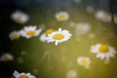Daisies at dawn (cuppyuppycake) Tags: flowers light plants nature daisies dawn bokeh outdoor