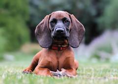 Korso portrait (Radosaw Owczarczak) Tags: dog puppy 85mm usm pup 18 korso bavarianmountainhound