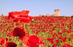 Entre castillos y amapolas (ciclope imagen) Tags: flora paisaje medinadelcampo castillodelamota castillaylen amapolas todoslosderechosreservados cclopeimagen