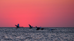 Svaner ved Mygget Vig (:NFR:) Tags: sunset swans solnedgang svaner falster