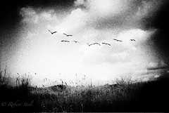 Wild geese. (M6NL) Tags: leica analog geese ganzen ilford