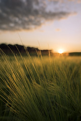 Golden Wheat (Taras L) Tags: sunset summer sky food sun sunlight plant nature field barley yellow rural season bread landscape gold golden countryside stem bright farm background wheat ngc grain cereal harvest grow seed straw dry sunny scene rye growth crop ear agriculture ripe distagon1435